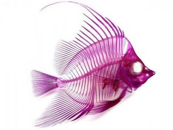 esqueleto-pez-transparente